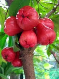 Arbol de Pomarrosas
